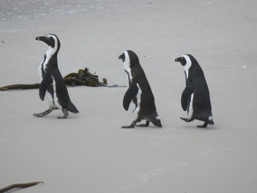 Pinguins op Boulders Beach