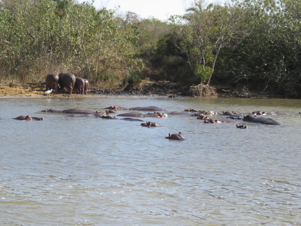 Nijlpaarden, niet zo schattig als je denkt